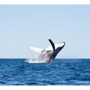 Whale Happiness Photograph